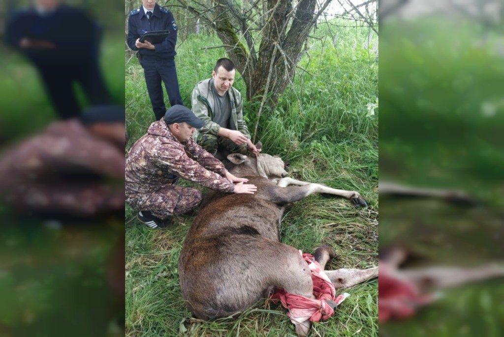 раненный браконьерами 13.06.2020 молодой лось (фото vk.com id1465144)