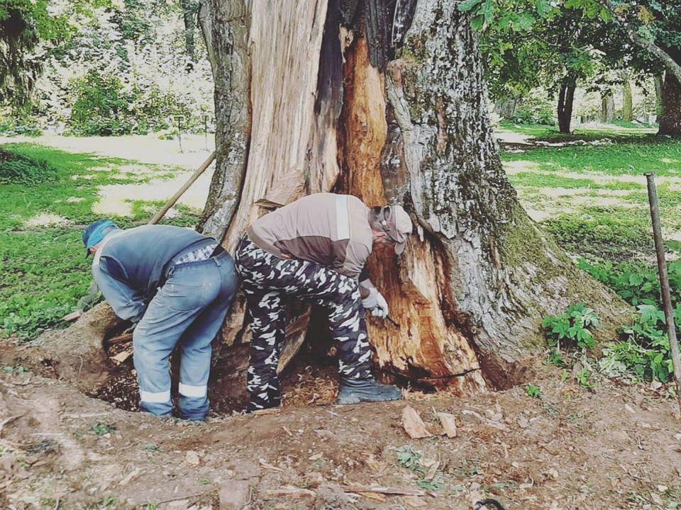 Хмелита, лечение старого дуба (фото instagram.com griboedovmuseum)