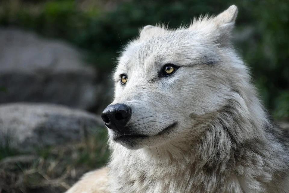 волк хищник нападение
