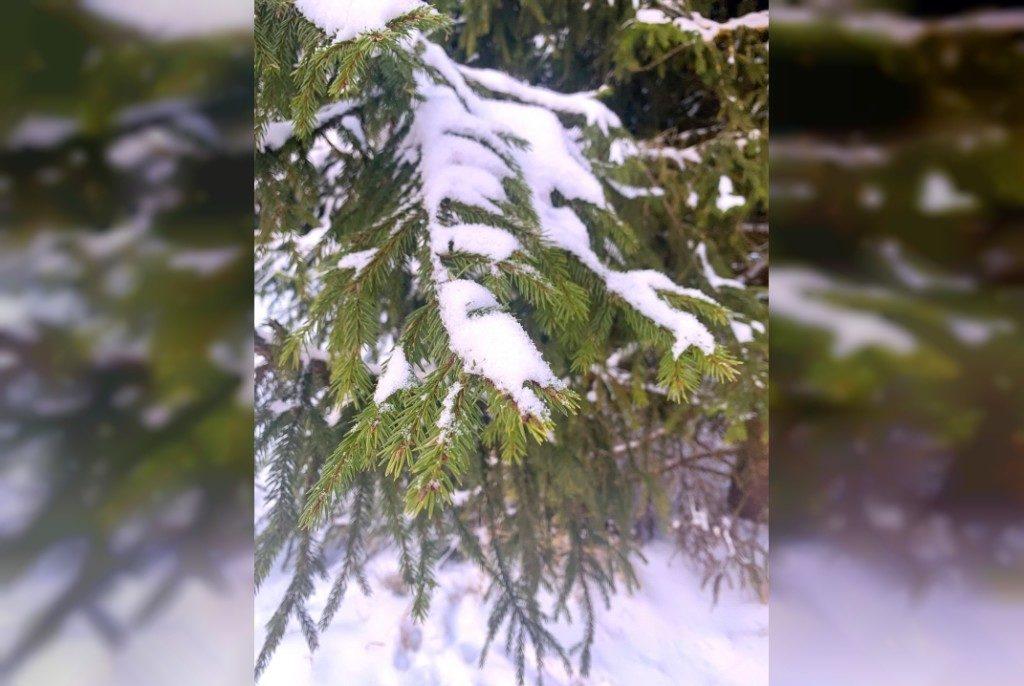 ветка хвойного дерева, снег, зима (фото 67.mchs.gov.ru)