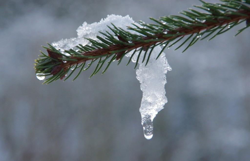ель, снег, оттепель