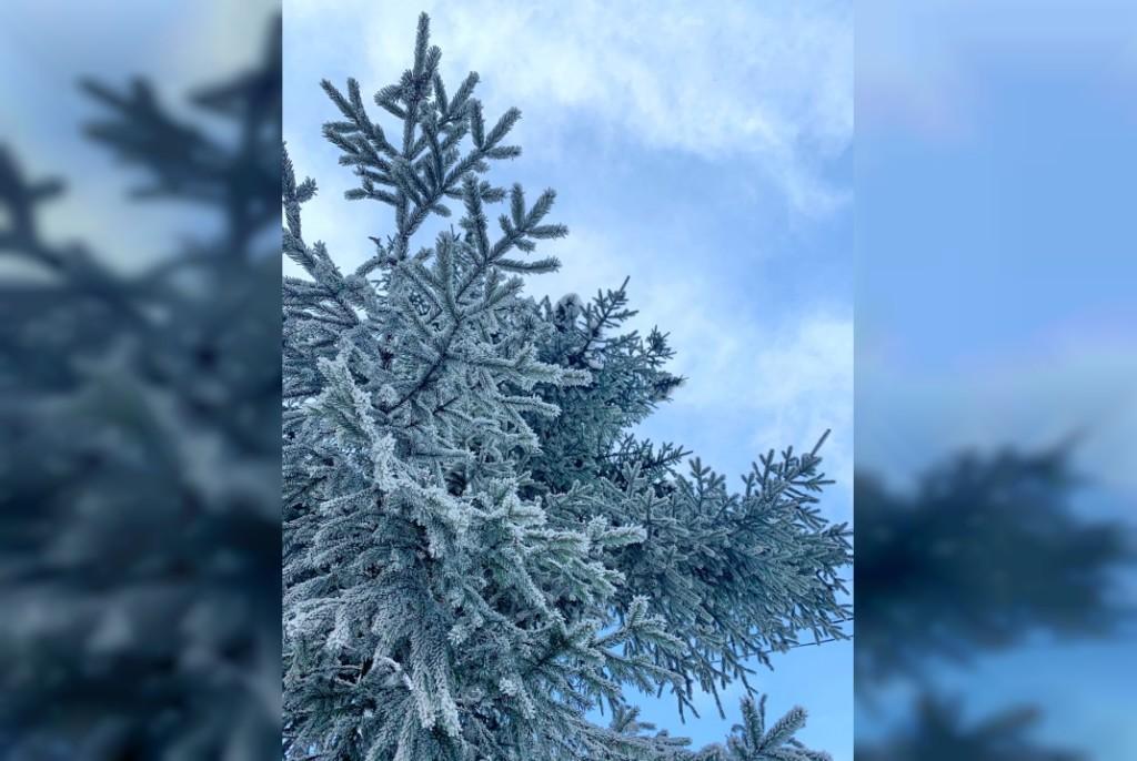 зима, мороз, ветка хвойного дерева (фото 67.mchs.gov.ru)