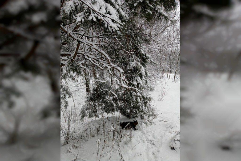 зима, снег, хвойное дерево, кошка (фото 67.mchs.gov.ru)
