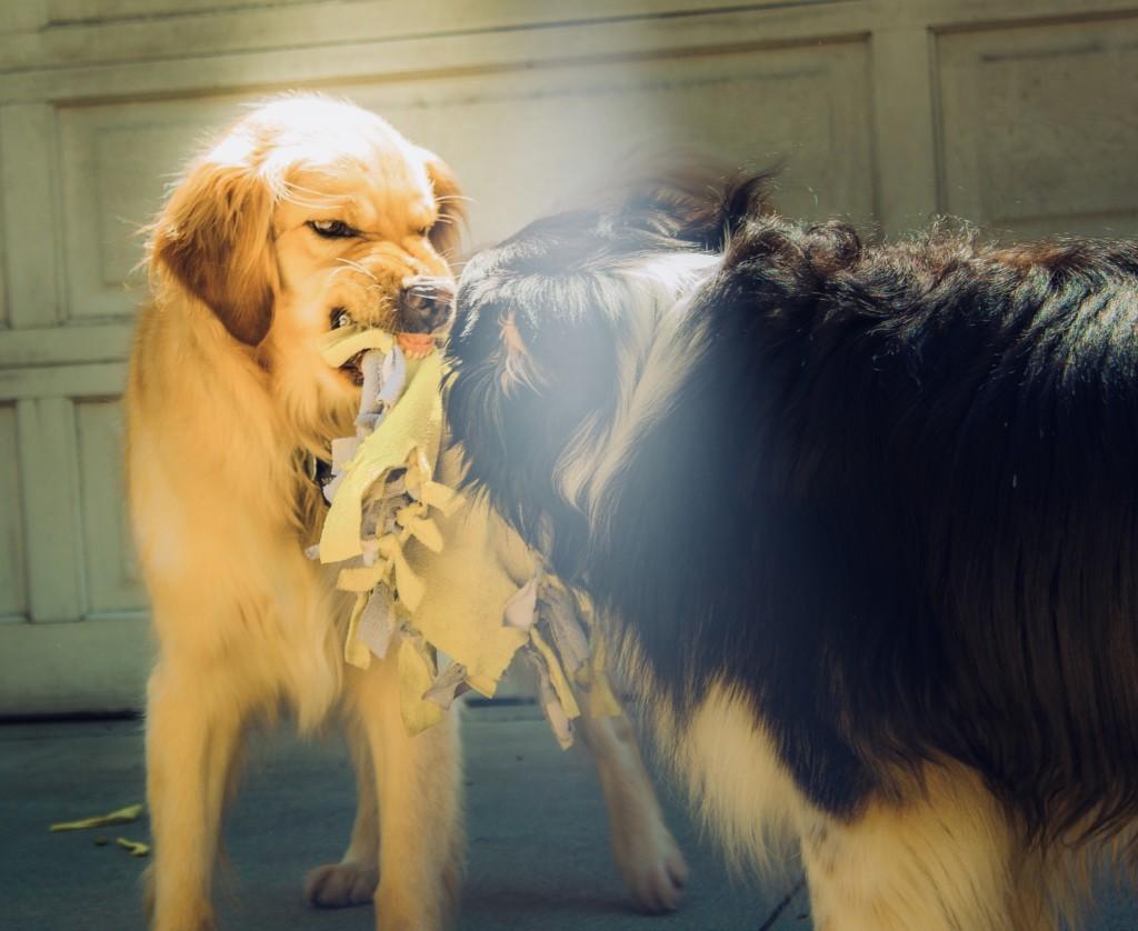 агрессивные домашние собаки