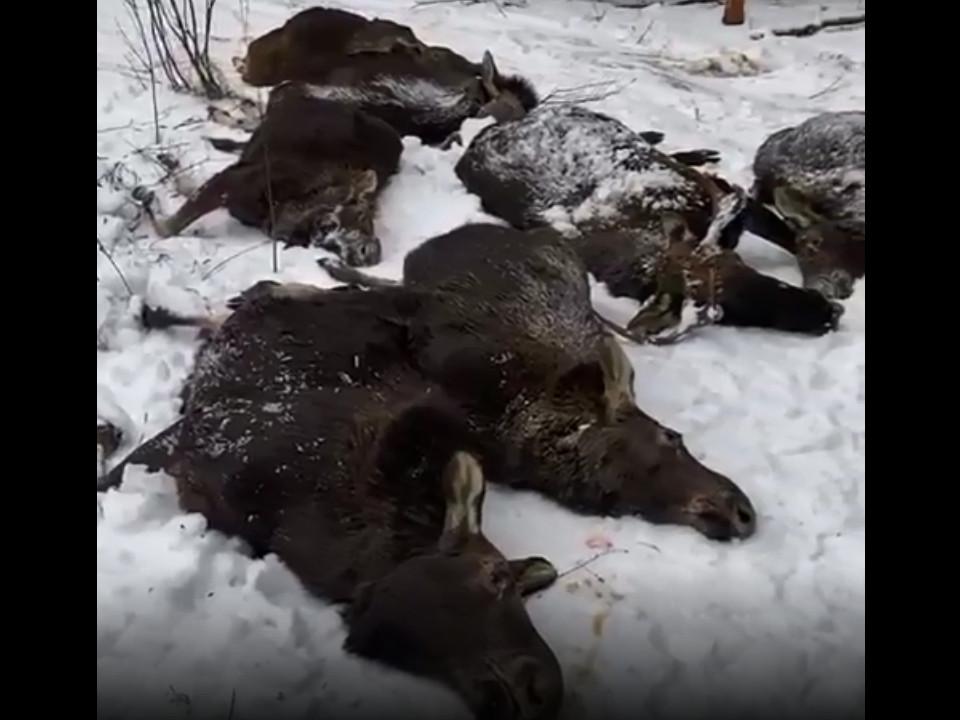 место отстрела лосей и косули в Тверской области (кадр видео vk.com g.sterligov)