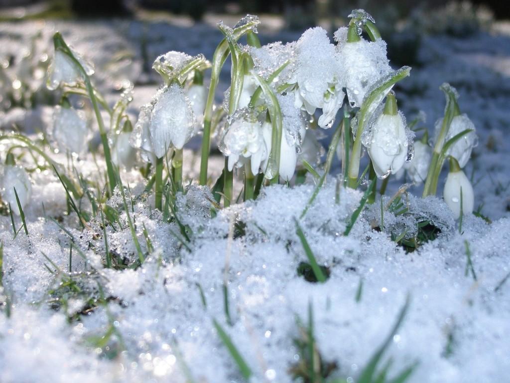 snowdrops-793435_1280