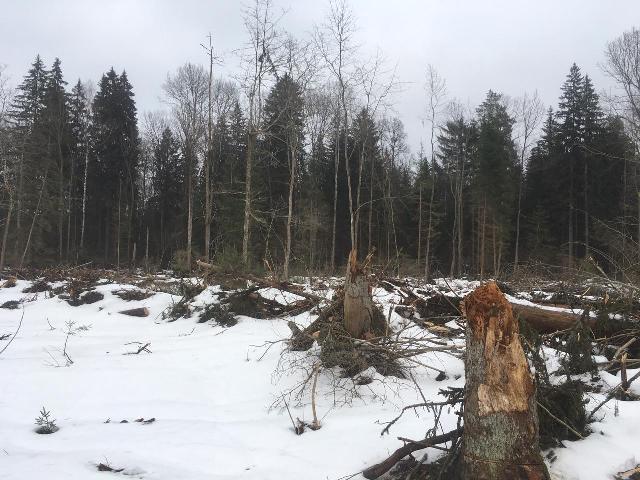 Под Смоленском задержали «черного лесоруба»