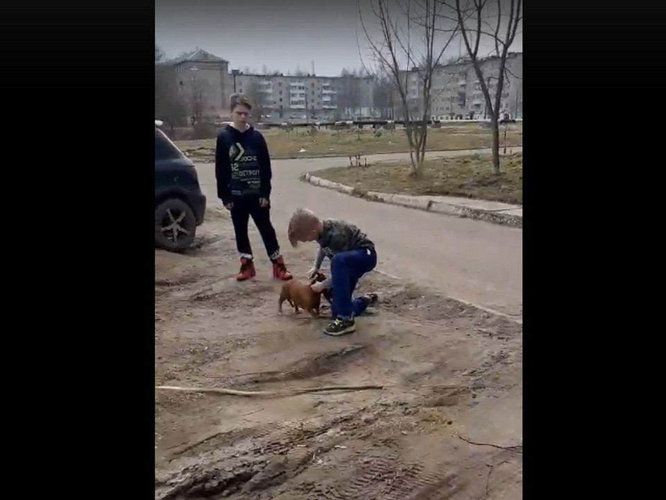 нападение собаки на мальчика и таксу в Сафонове (кадр видео vk.com region06767)