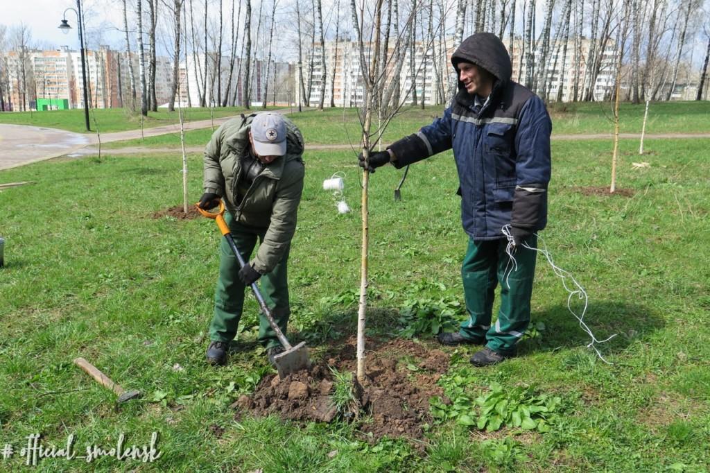 В смоленском парке Соловьиная роща высадили березовую аллею