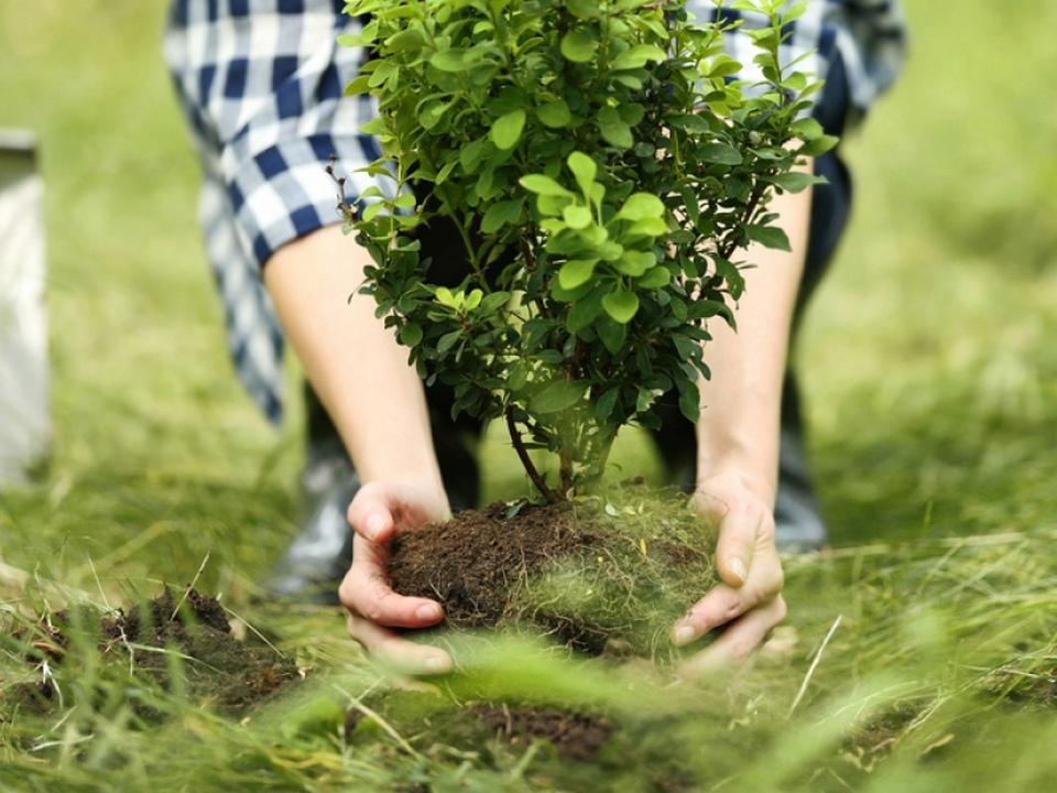 высадка кустарника, декоративного растения (фото admin-smolensk.ru)