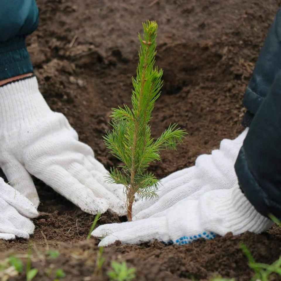 высадка саженца хвойного дерева, экологическая акция